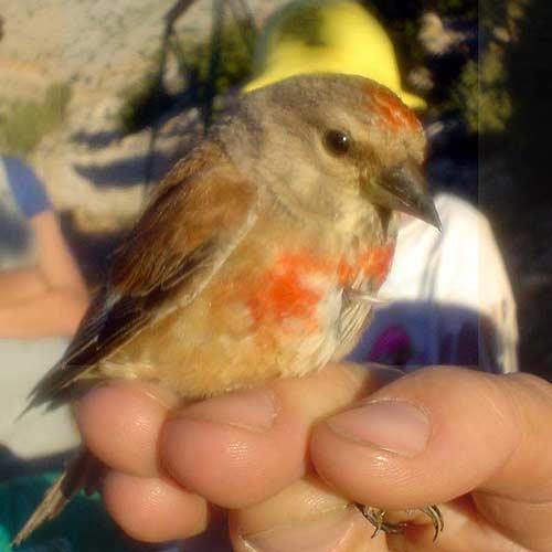 birding-israel-breeding