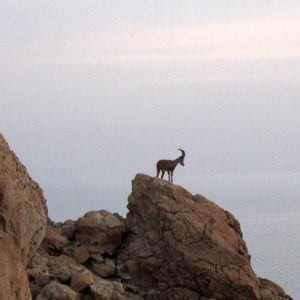 nubian-ibex desert tour